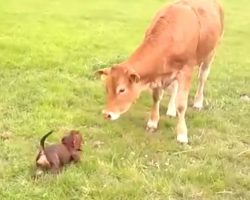 (Video) This Pup Can't Contain Her Excitement When She Sees a Cow for the Very First Time