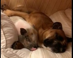 "(Video) Bulldog and Pig Take a Snooze Together and We Can't Stop Saying ""Aww!"""