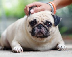 How to Prevent a Pooch From Having a Bloated Tummy