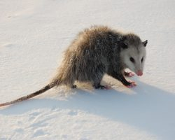 Specialists Believe That Opossums May Silently Help Prevent the Spread of Lyme Disease